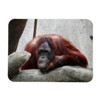 Orangután Imán De Vinilo