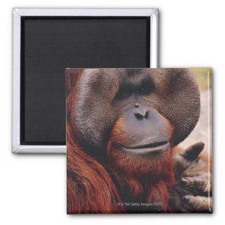 Orangután Imán Cuadrado