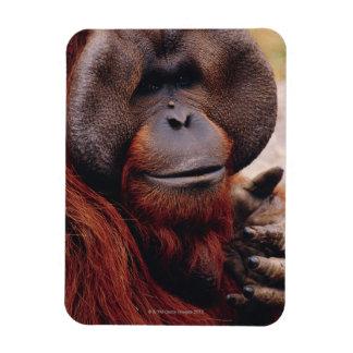 Orangután Imán Flexible