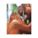 Orangutan Kiss Gallery Wrapped Canvas