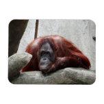 Orangutan Magnet