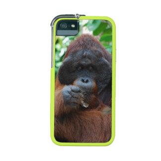 Orangután masculino en Borneo