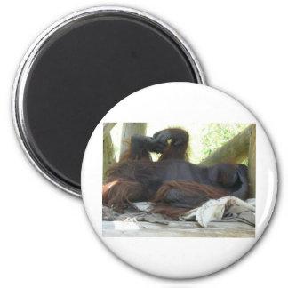 orangután masculino imán de frigorífico