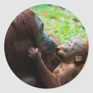 Orangutan mother and baby classic round sticker