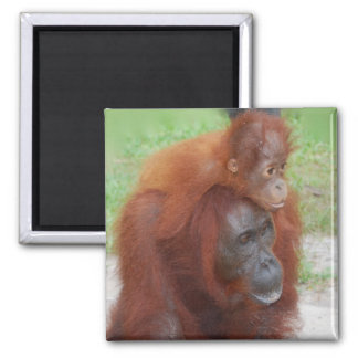 Orangutan Mother and Baby on Island of Borneo Magnet