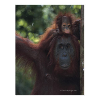 Orangutan Mother with Baby Postcard