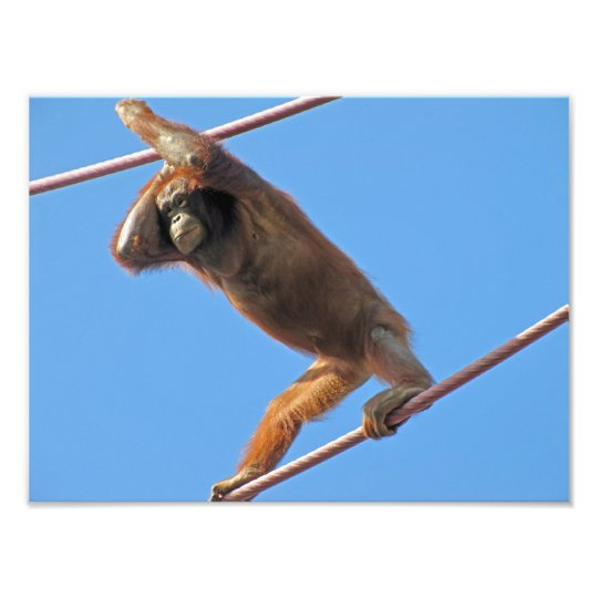Orangutan on a Wire. Photo Print