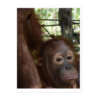 Orangutan Orphan Pouting at Care Center Postcard