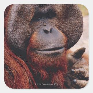 Orangután Pegatina Cuadrada