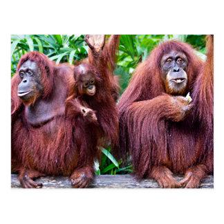 Orangutan pious Singapore zoo Postcard
