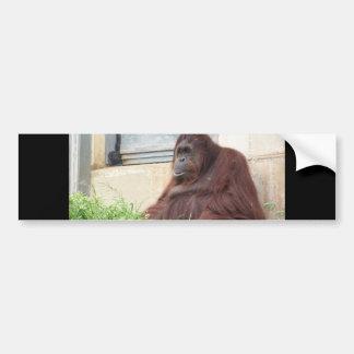 Orangutan Portrait Car Bumper Sticker