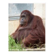 Orangutan Portrait Postcard