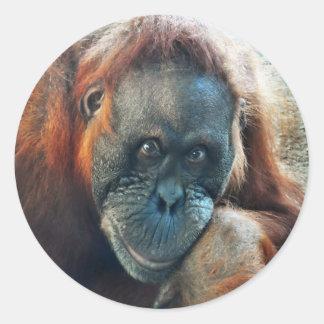 Orangutan Portrait Sticker