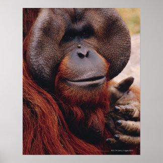 Orangután Póster