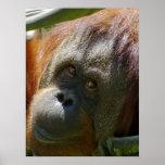 Orangután Posters