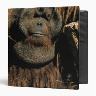 Orangután prisionero, o pongo pygmaeus.