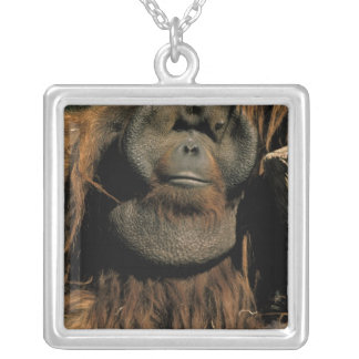 Orangután prisionero, o pongo pygmaeus. collar plateado