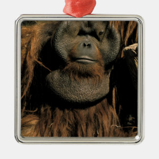 Orangután prisionero, o pongo pygmaeus. adorno cuadrado plateado