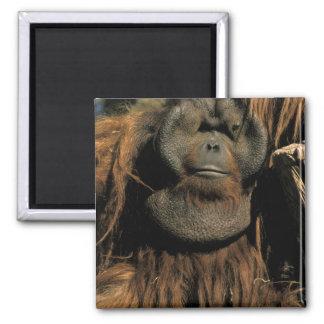 Orangután prisionero, o pongo pygmaeus. iman para frigorífico