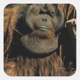 Orangután prisionero, o pongo pygmaeus. pegatina cuadrada