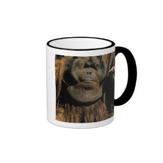 Orangután prisionero, o pongo pygmaeus. tazas de café