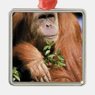 Orangután prisionero, o pygmaeus del pongo. 2 adorno cuadrado plateado