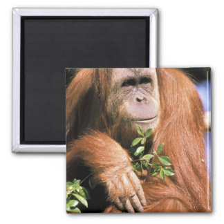 Orangután prisionero, o pygmaeus del pongo. 2 imán