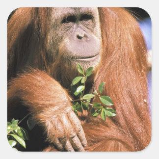 Orangután prisionero, o pygmaeus del pongo. 2 pegatina cuadrada