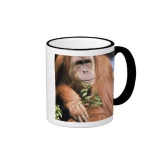 Orangután prisionero, o pygmaeus del pongo. 2 taza de café
