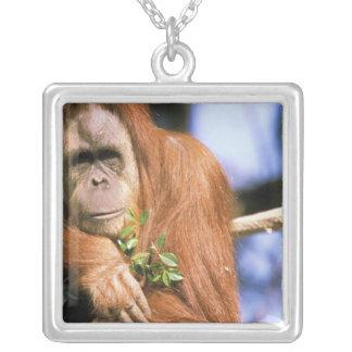 Orangután prisionero, o pygmaeus del pongo. 3 collar plateado