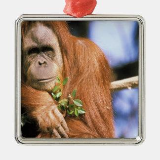 Orangután prisionero, o pygmaeus del pongo. 3 adorno cuadrado plateado