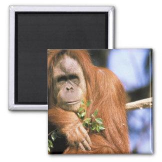 Orangután prisionero, o pygmaeus del pongo. 3 imanes de nevera