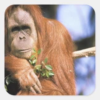 Orangután prisionero, o pygmaeus del pongo. 3 pegatina cuadrada