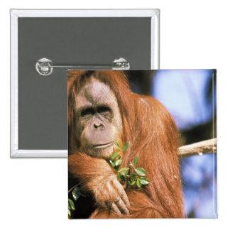 Orangután prisionero, o pygmaeus del pongo. 3 pin cuadrado