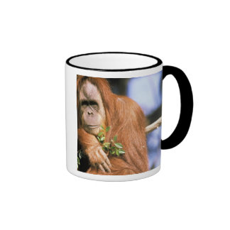 Orangután prisionero, o pygmaeus del pongo. 3 taza de café