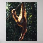 Orangután que cuelga en el Liana 2 Impresiones
