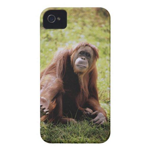 Orangután que se sienta en hierba y que mira la carcasa para iPhone 4