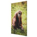 Orangután que se sienta en hierba y que mira la impresión en lienzo