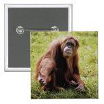 Orangután que se sienta en hierba y que mira la pin cuadrado