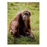 Orangután que se sienta en hierba y que mira la tarjeta postal