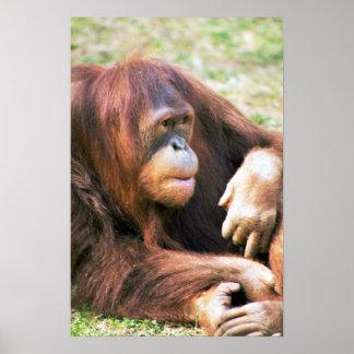 Orangutan Reclining Posters