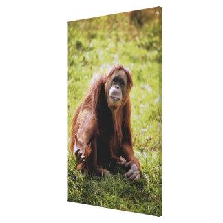 Orangutan sitting on grass and looking at camera canvas print