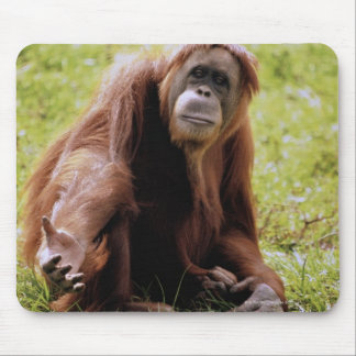 Orangutan sitting on grass and looking at camera mouse pad