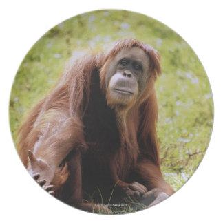 Orangutan sitting on grass and looking at camera plates