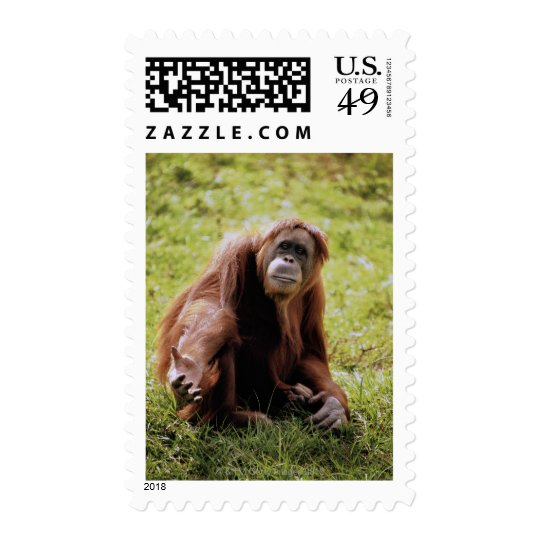 Orangutan sitting on grass and looking at camera postage
