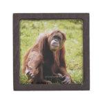 Orangutan sitting on grass and looking at camera premium keepsake box