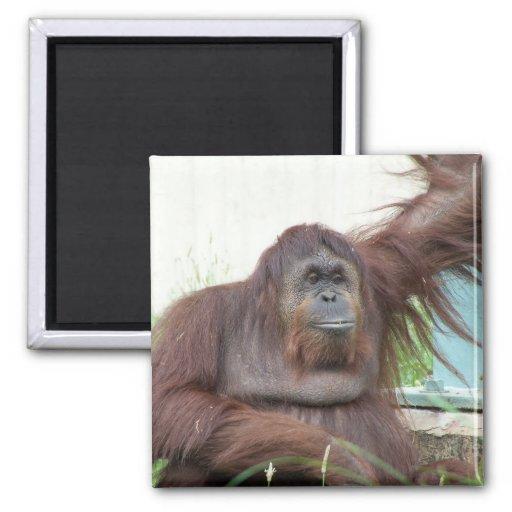 Orangutan Square Magnet