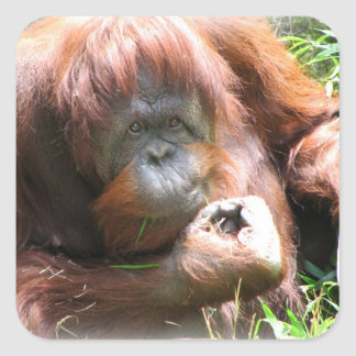Orangutan Sticker for school