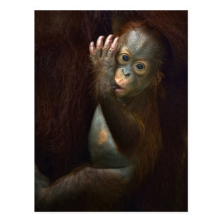 Orangután Postales