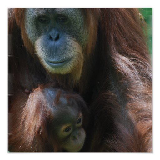 Orangutan with Baby Poster